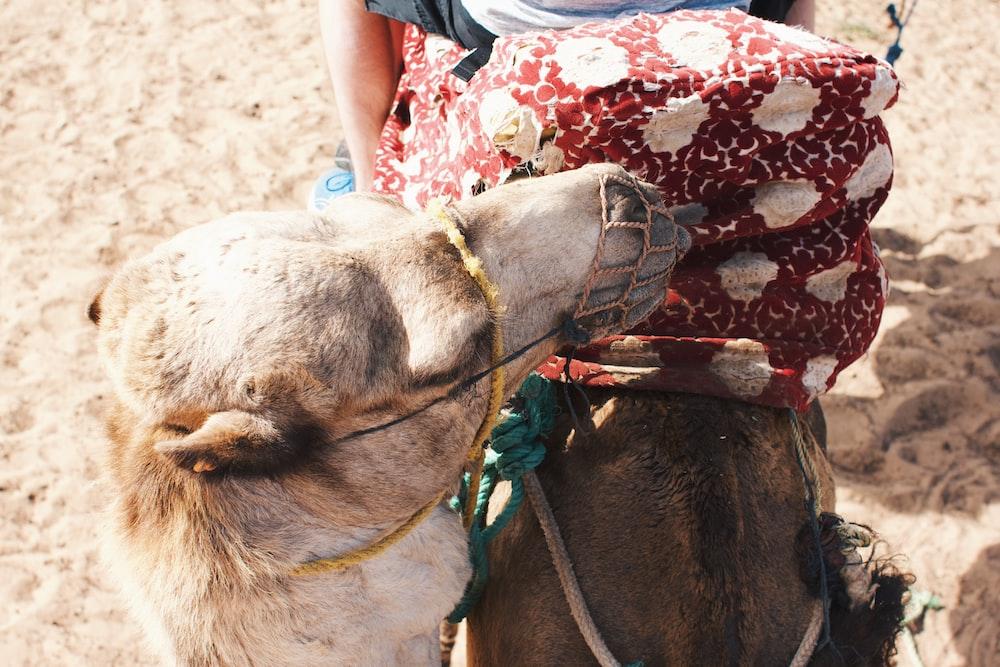a brown camel