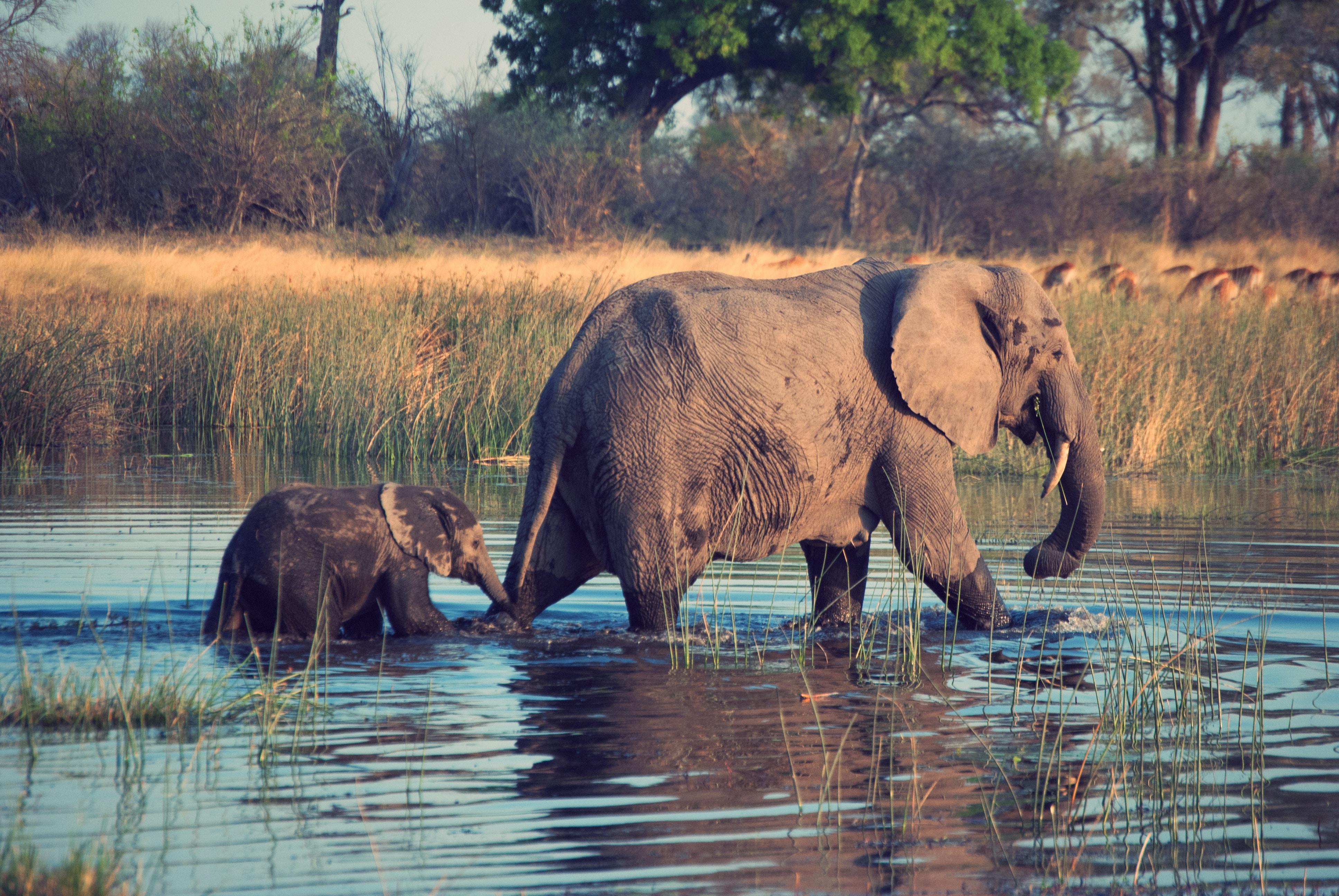 two gray elephants on body of water