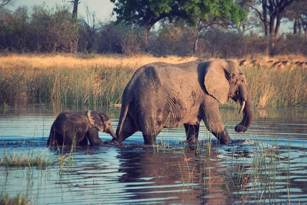 two gray elephants on body of water