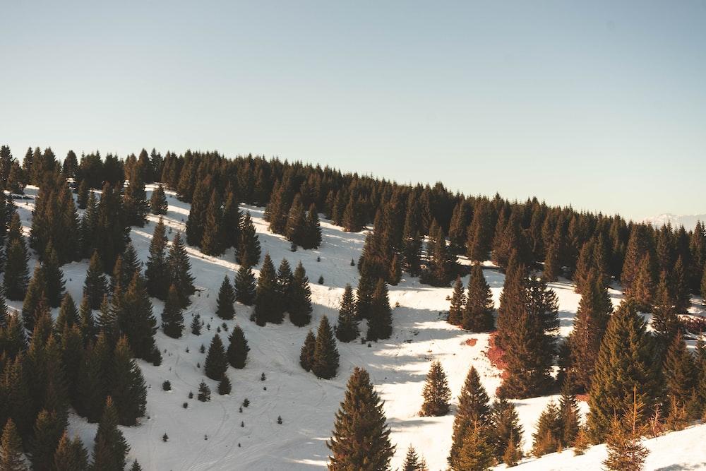 green pine trees