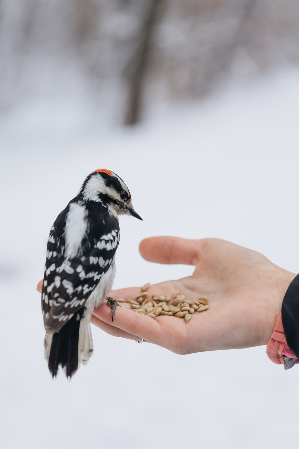 Hairy woodpecker on person's hand