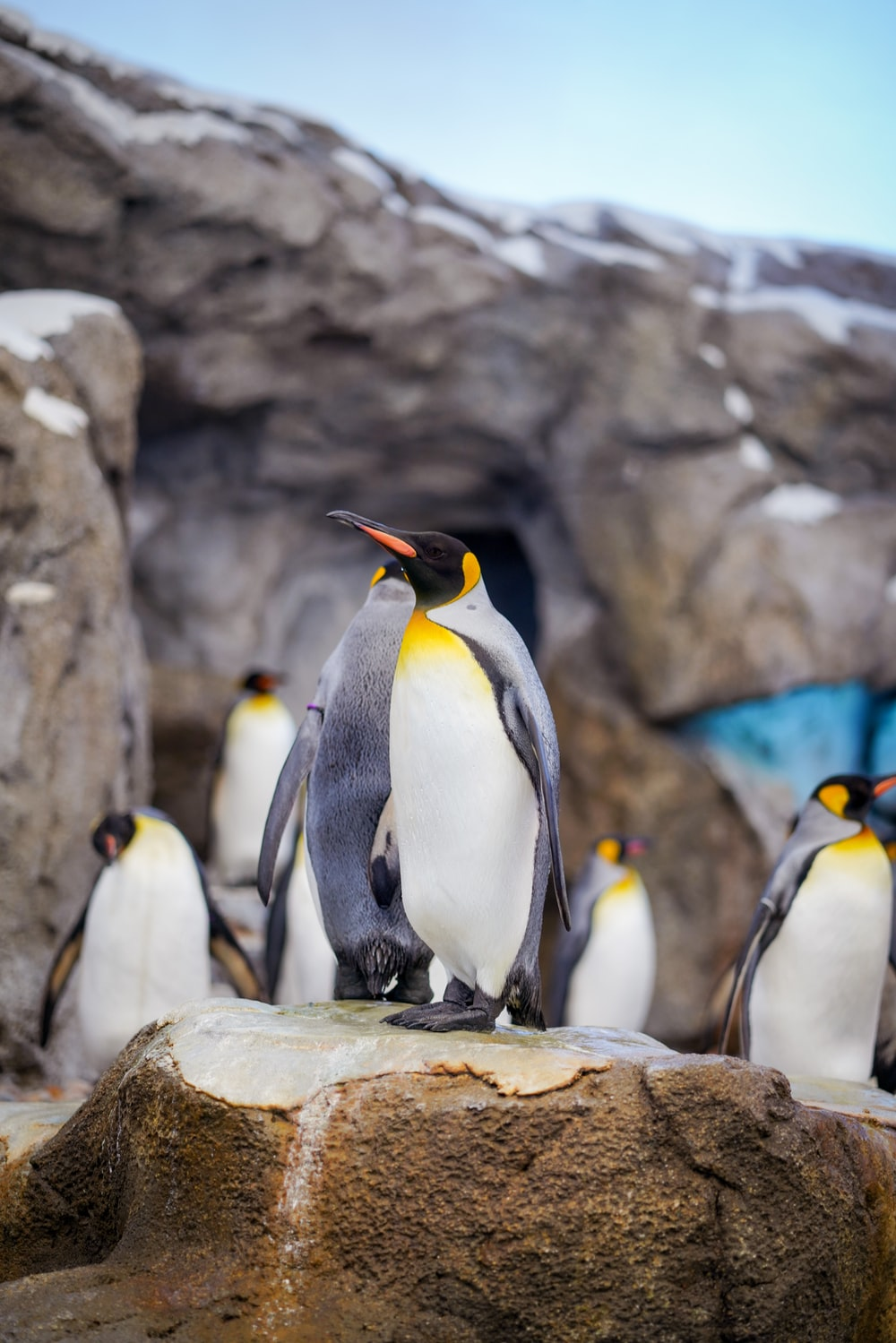 Bird, animal, king penguin and wildlife | HD photo by Yomex