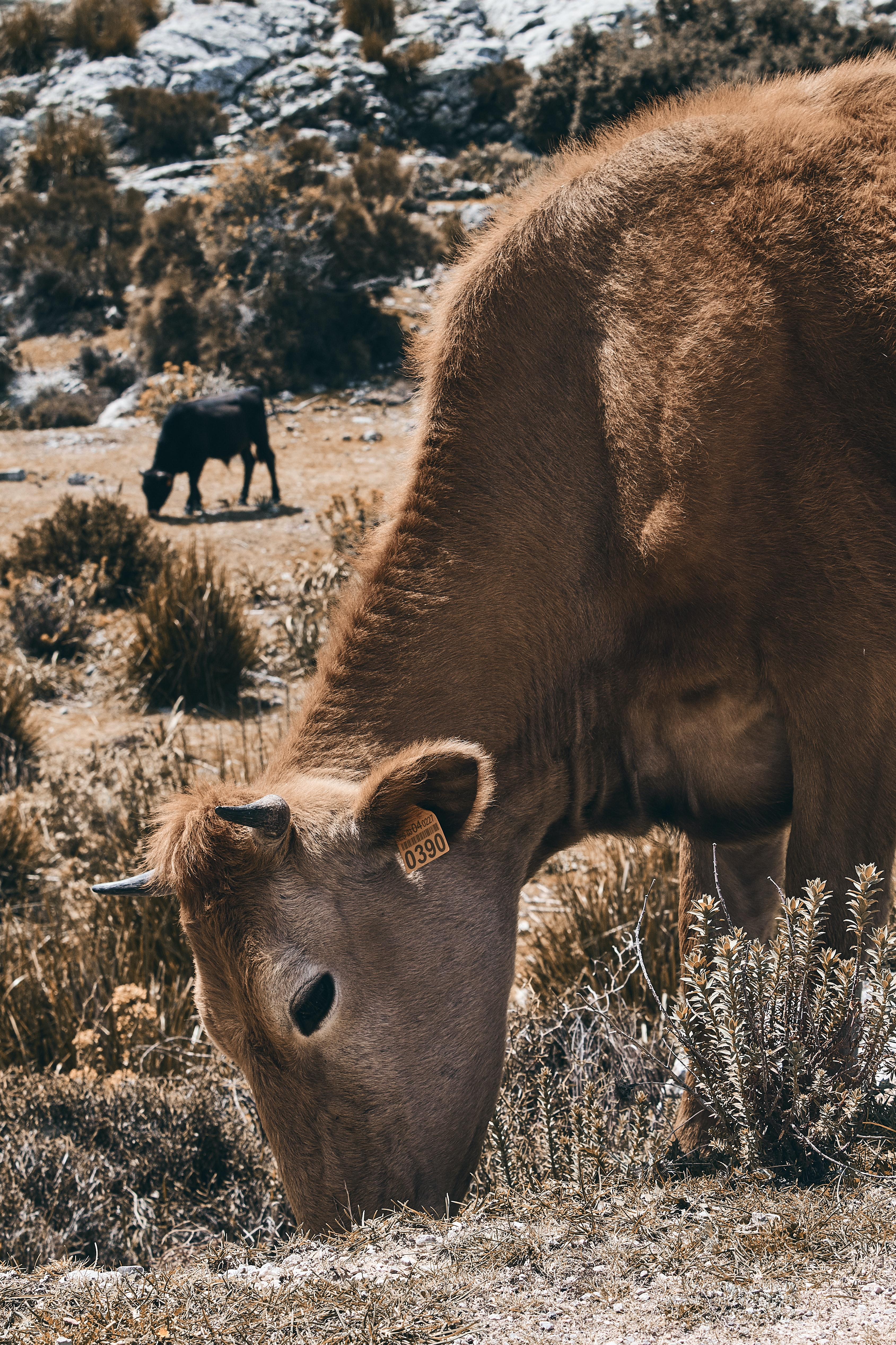 selective focus photography of brown cattle eating grass during daytime