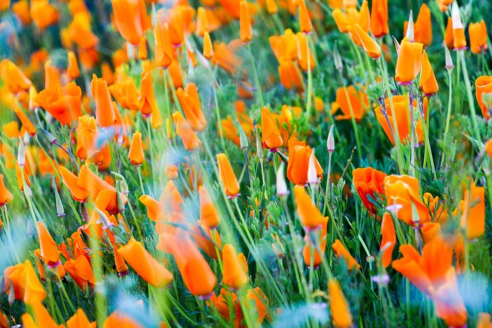 orange flower field