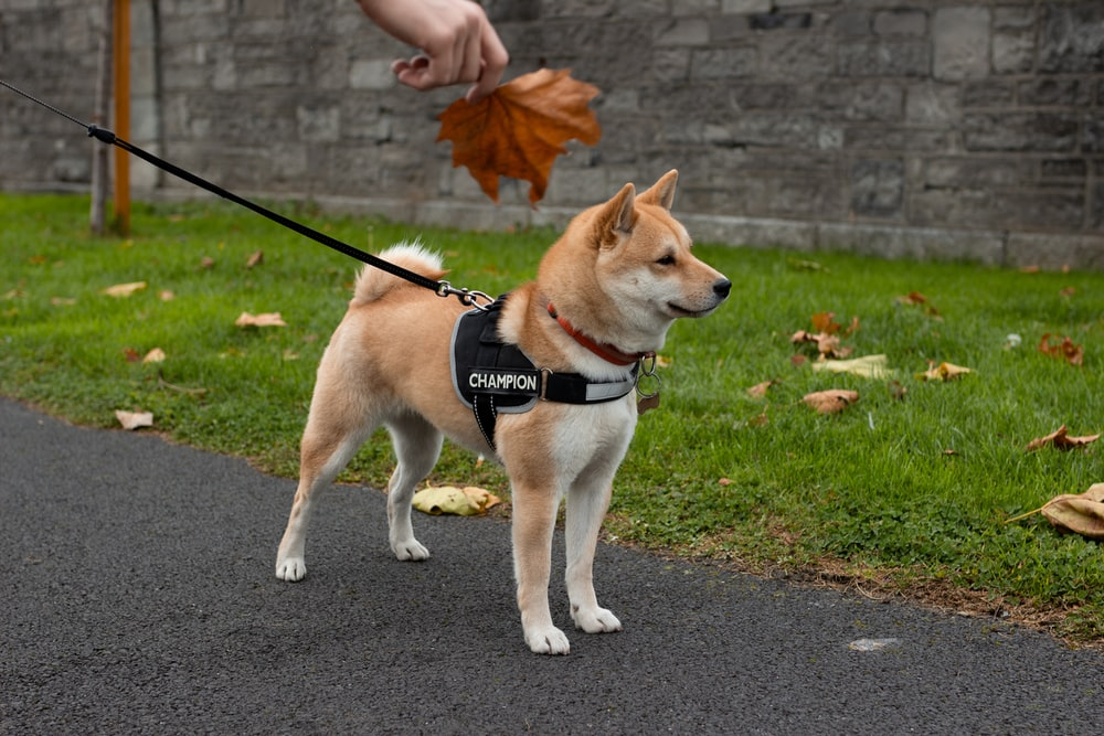 brown and white coated dog wearing black and gray body dog leash