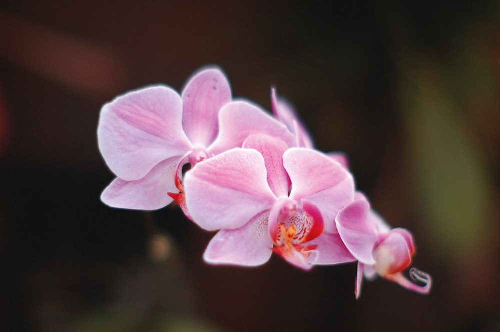 pink moth orchid in selective-focus photography