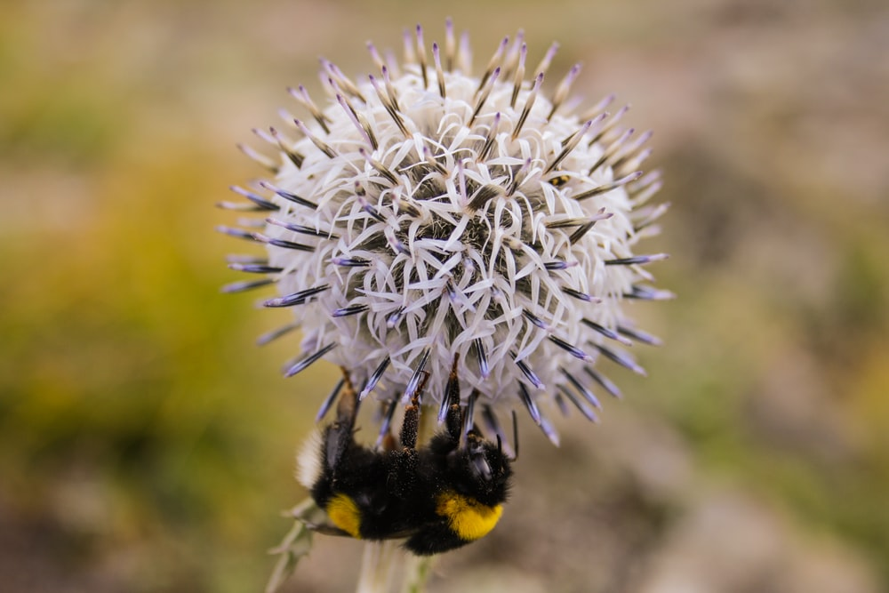 bumble bee perched on dandelion flower