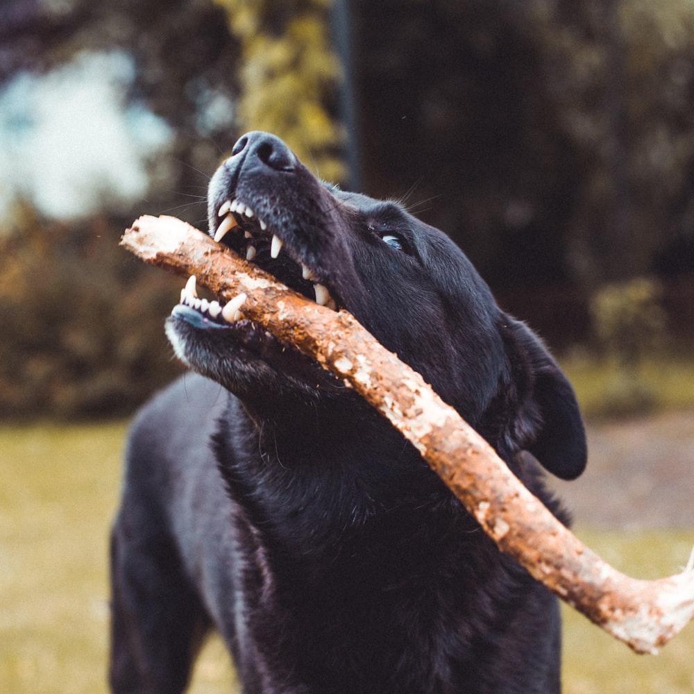 black dog biting brown twig