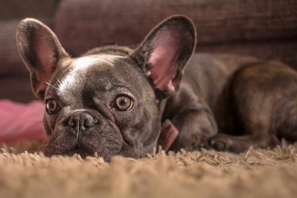 adult black French bulldog lying on brown textile