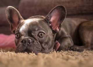 adult black French bulldog lying on brown textile