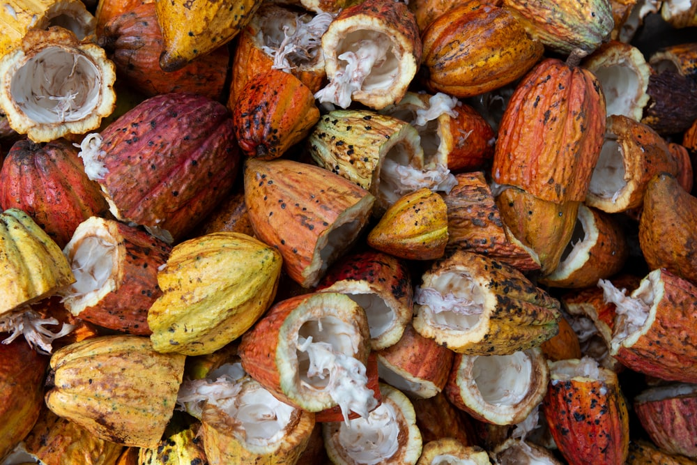 open cacao fruit lot