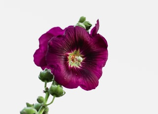 purple flower on white background