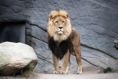 brown lion lion teams background