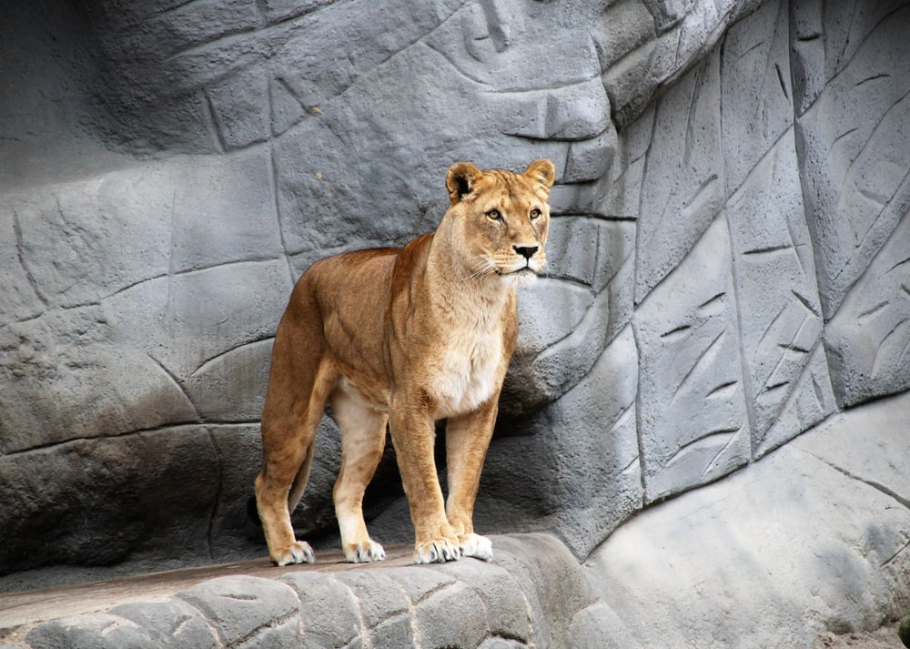 brown lion standing on gray rocky mountain