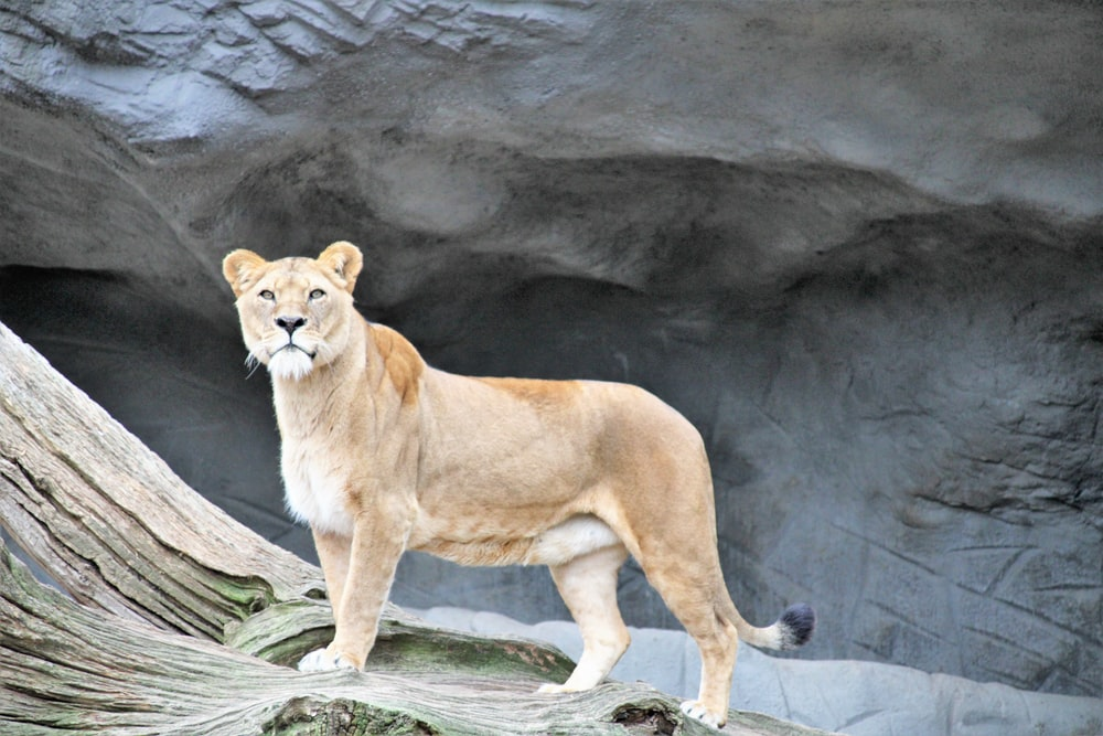 shallow focus photo of brown lioness