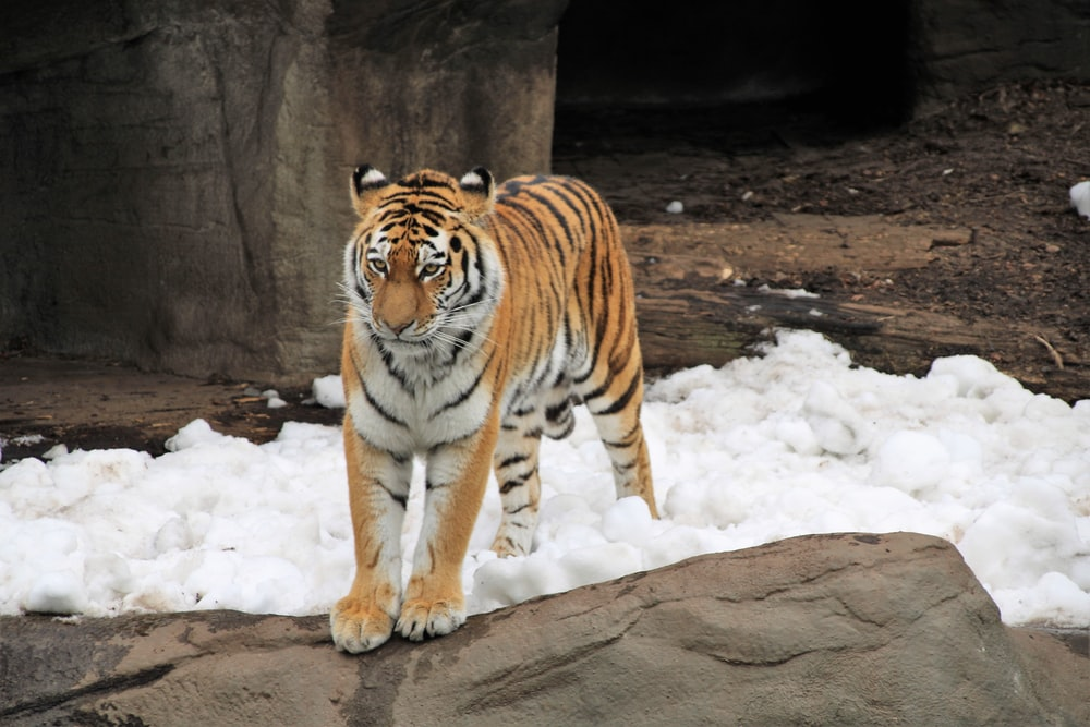 tiger on snow covered ground