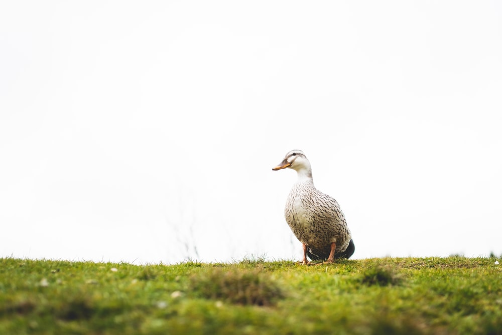 white and gray duck during daytime