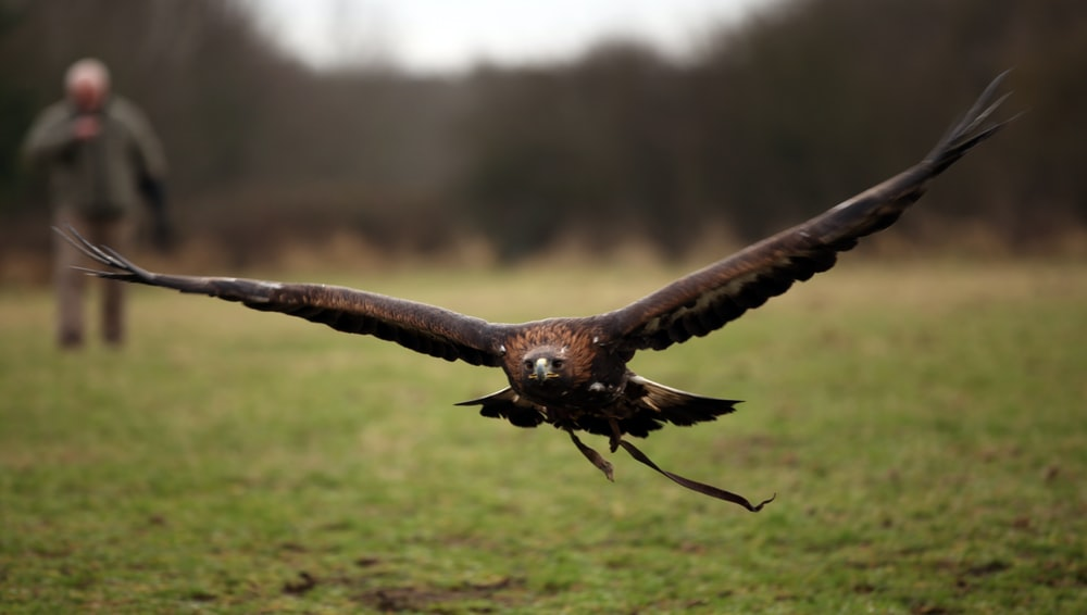 brown and black eagle flying away from person