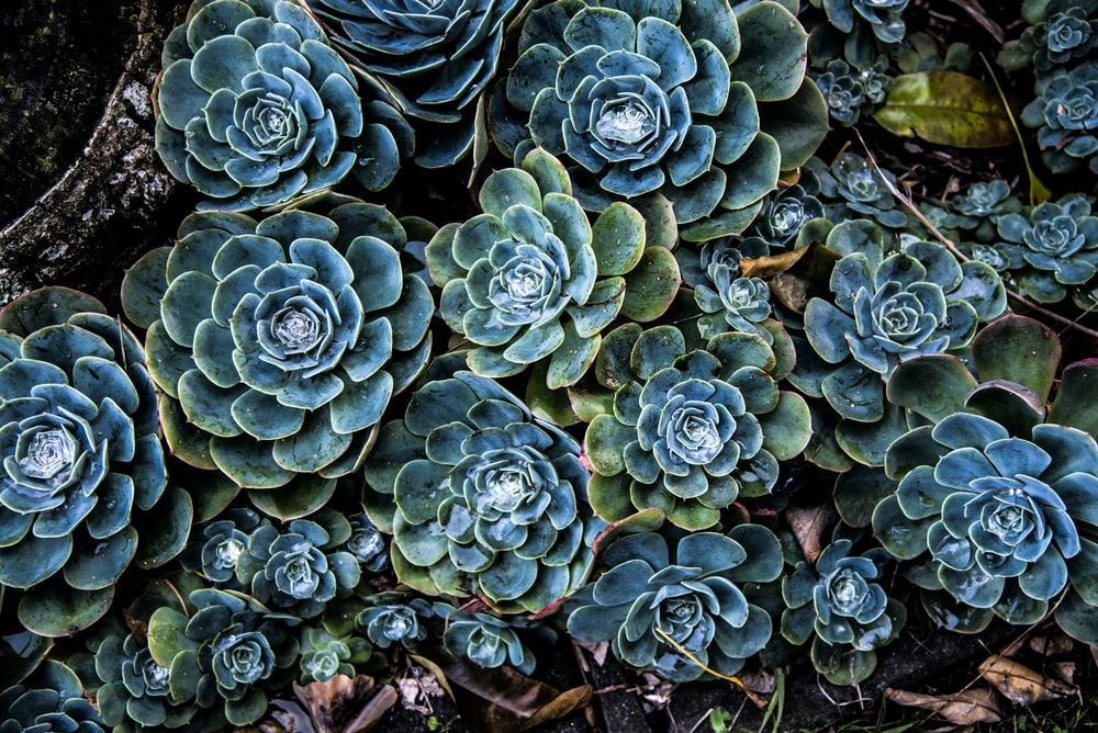 green and blue succulent plants