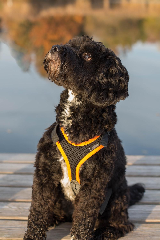 black curly-coated dog on dock