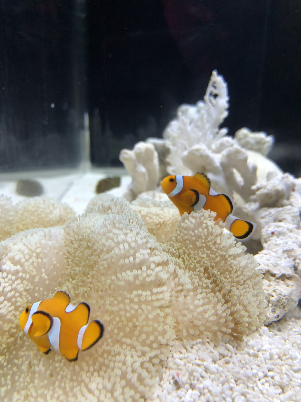 two clown fish hiding at the corals