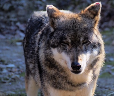 black and brown medium-coated dog standing outside during daytime gray wolf teams background
