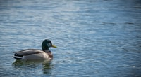 Duck floating on a lake