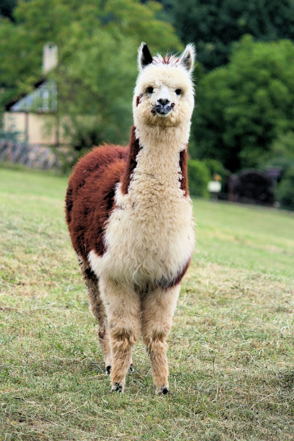 standing white and brown alpaca