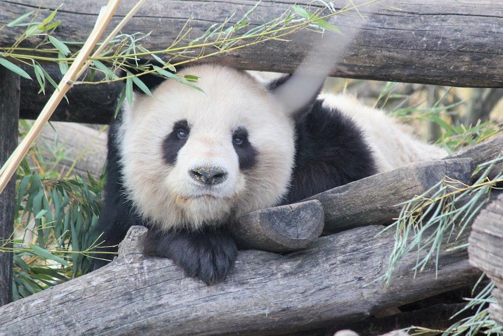 panda lying on wood beside bamboo