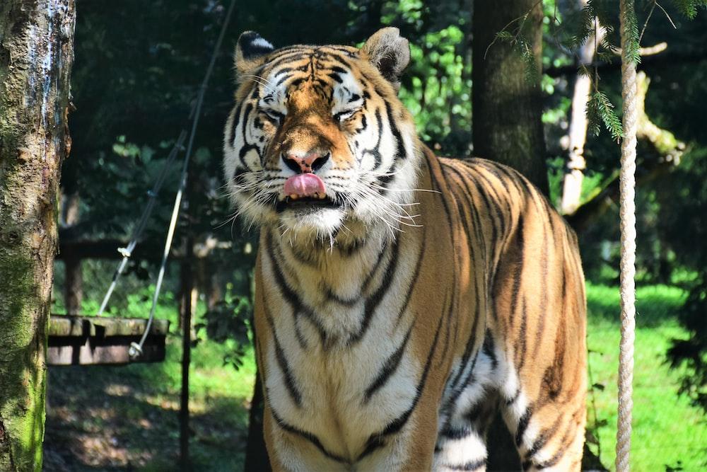 Bengal tiger standing during daytime