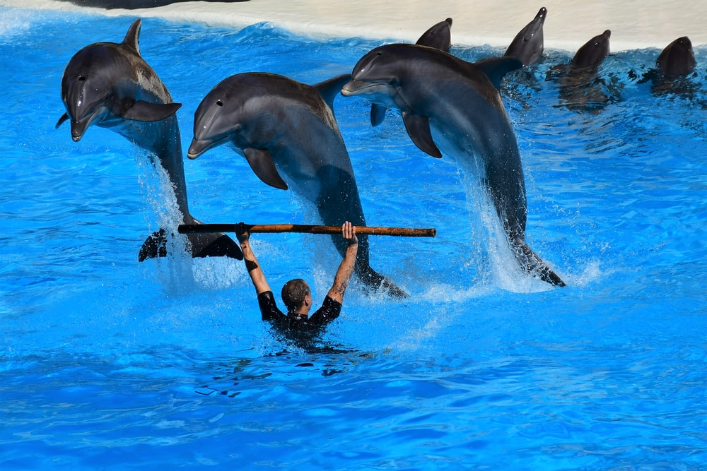 three black dolphins jumping