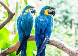 two blue macaws perching on branch