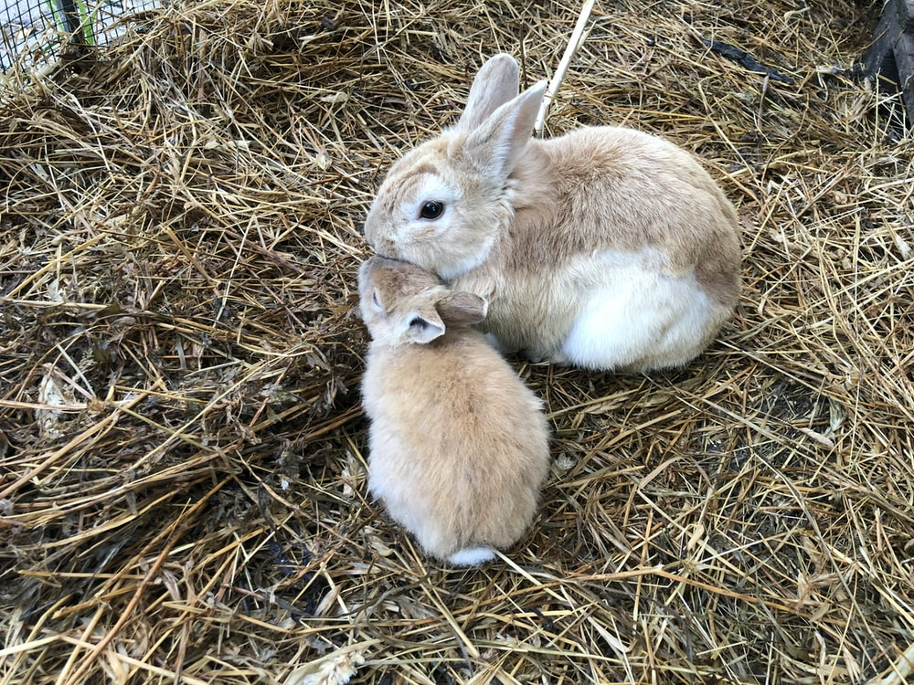 two brown rabbits