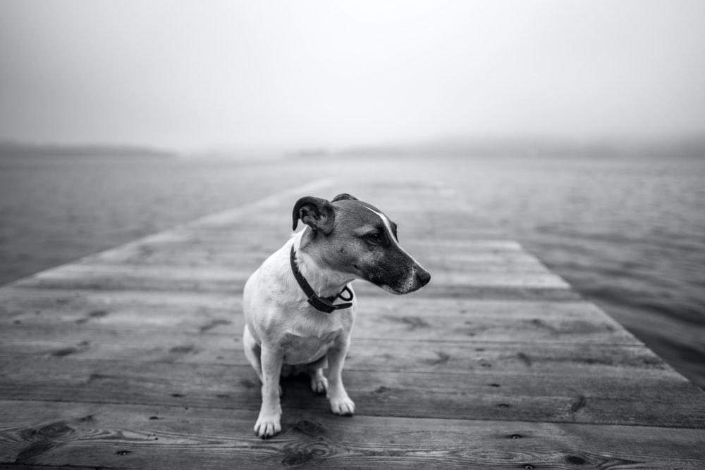 grayscale photo of dog sitting on boardwalk