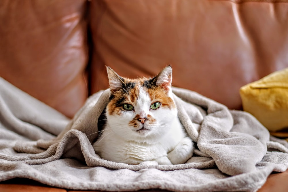 pet cat covered in blanket