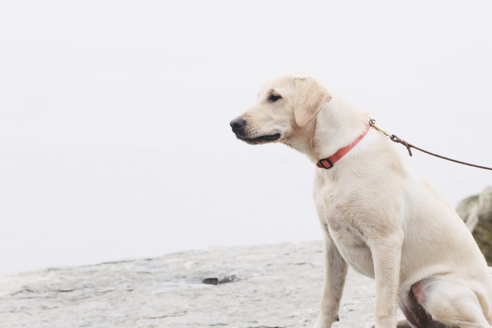 yellow Labrador retriever sitting in white surface