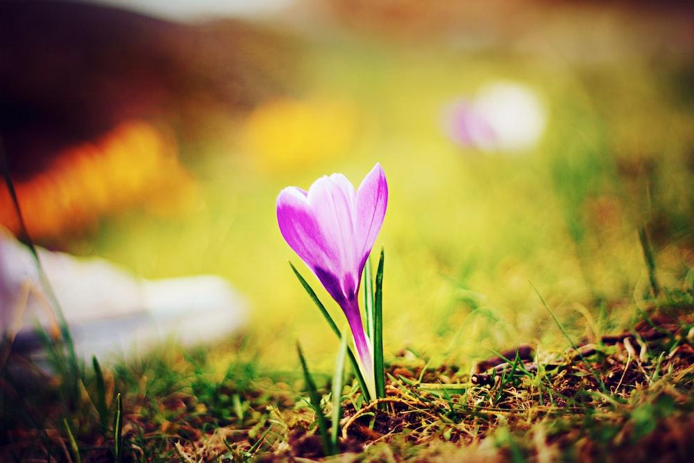purple-petaled flower on soil