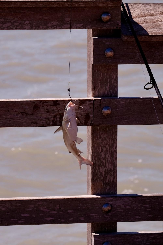 white fish on fish hook