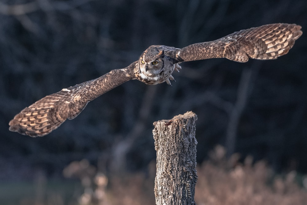 owl in mid air