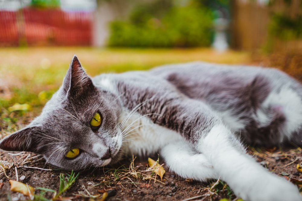 short-fut gray cat lying on ground