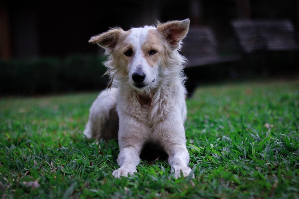 short coat white dog on grass field