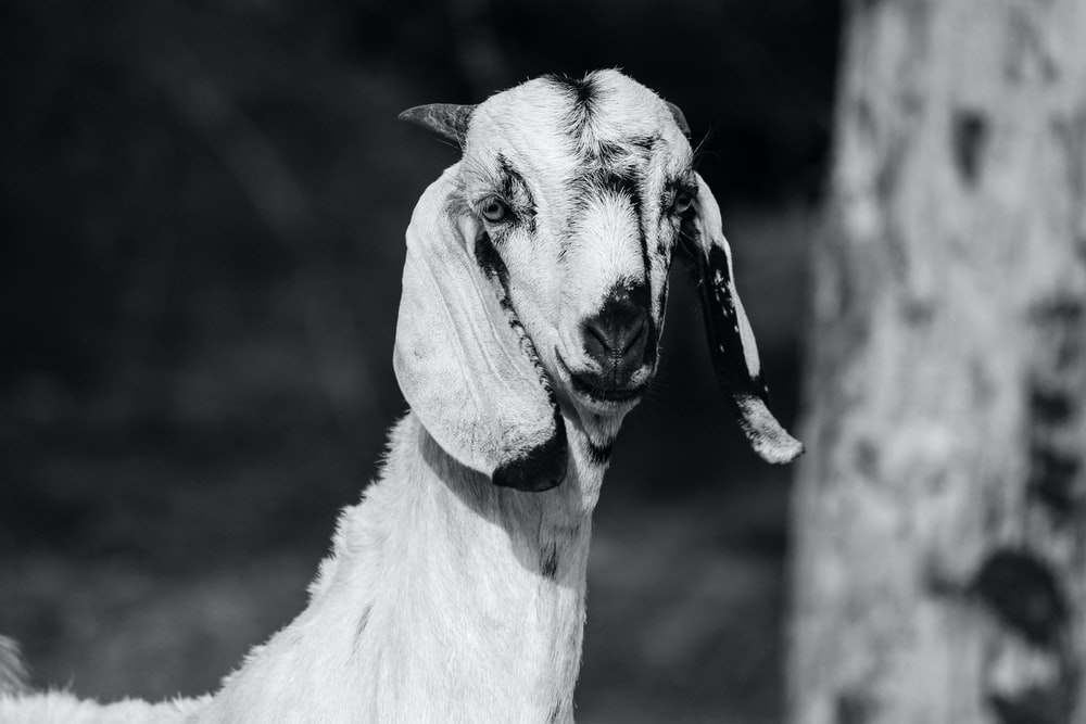 goat near wood grayscale photo