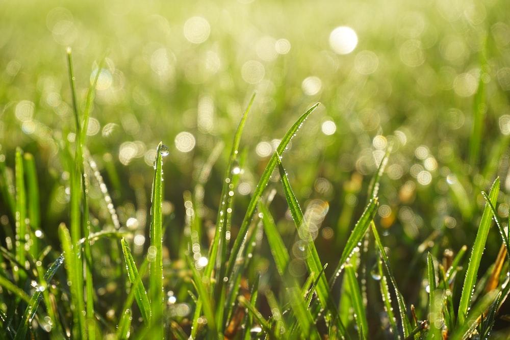 dew drops on green grasses