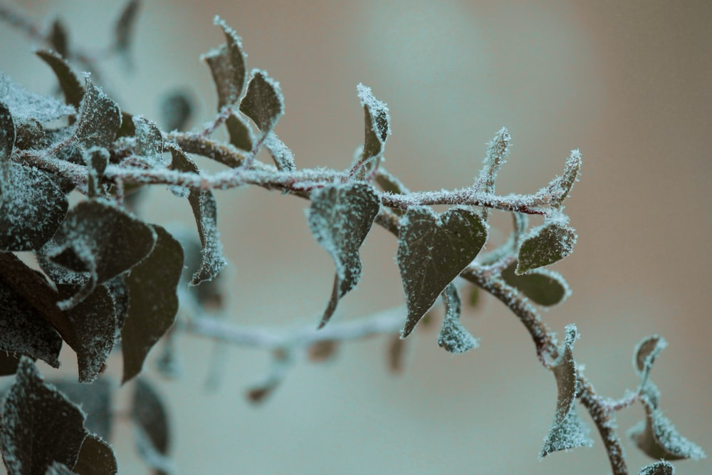frosted plant leaves