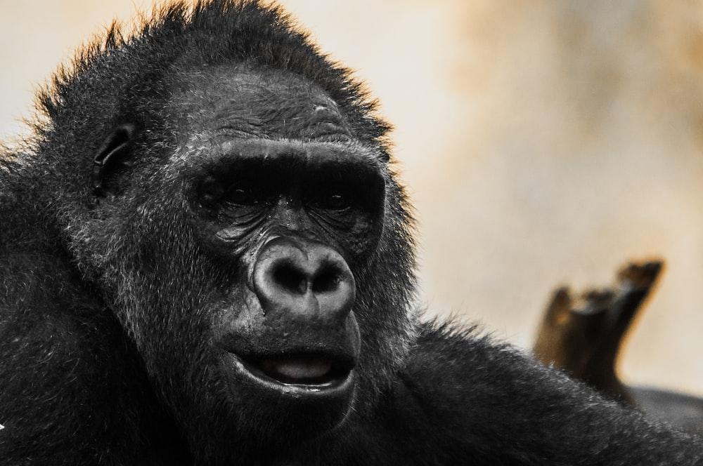close up photography of gorilla