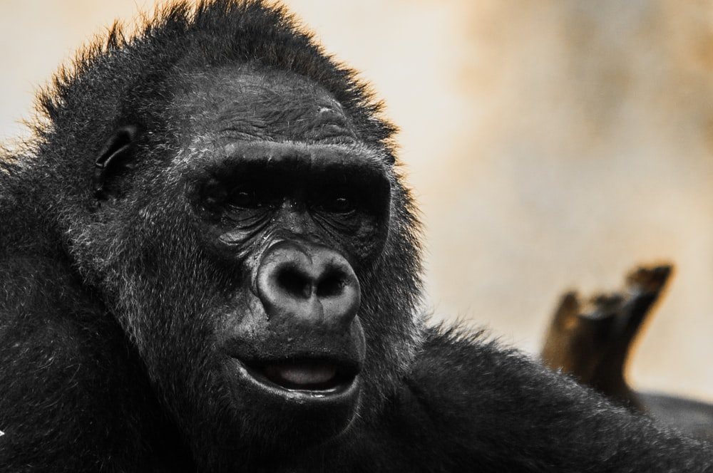 close up photography of gorilla