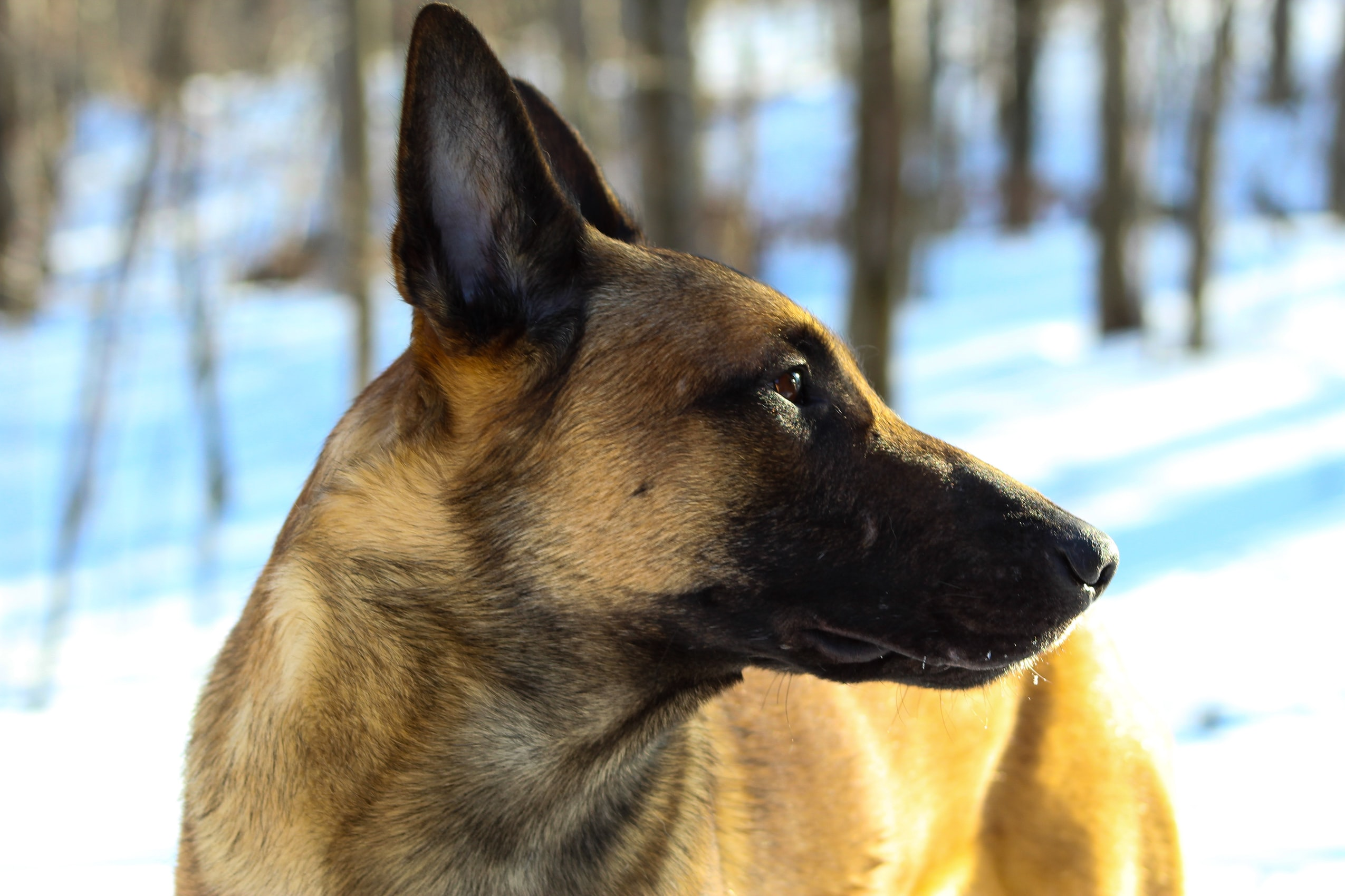 Belgian malinois photo