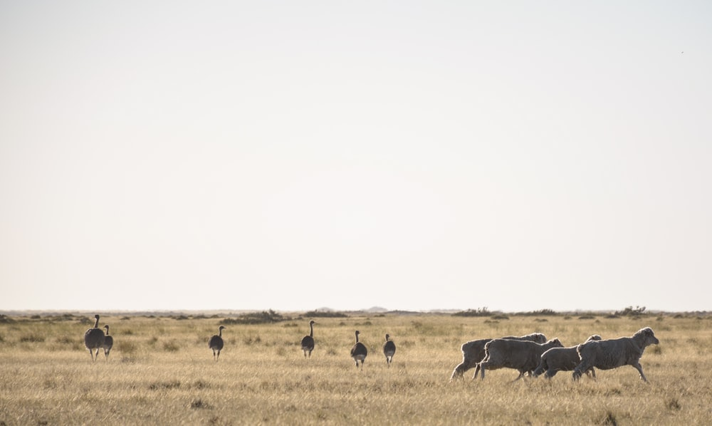 group of ostrich on grass field