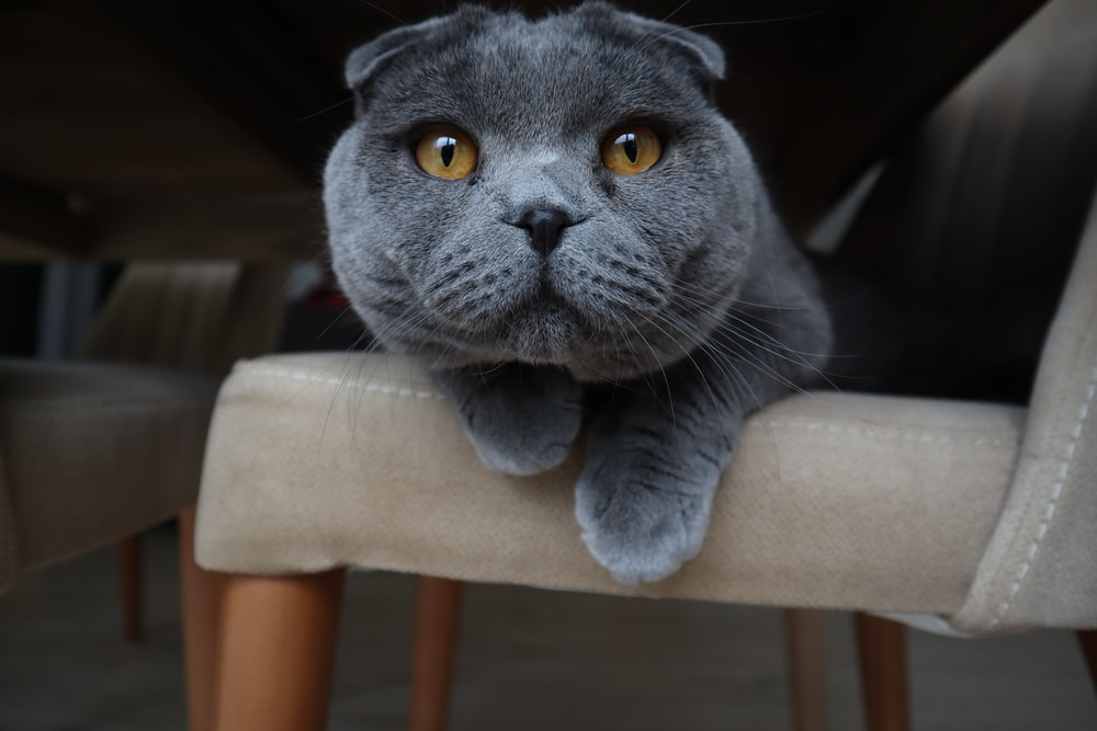 blue Scottish fold cat on chair