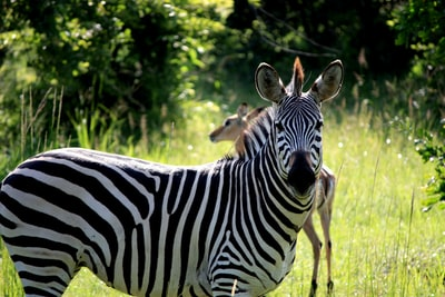 white and black zebra on green grass field zambia zoom background